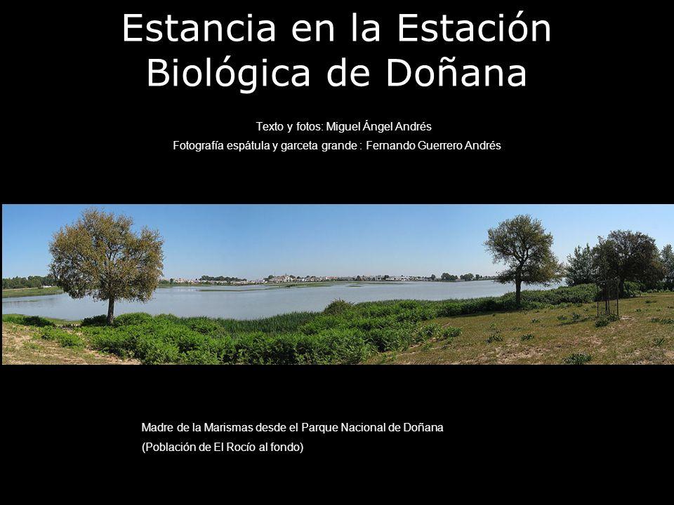 Estancia en la Estación Biológica de Doñana Texto y fotos: Miguel Ángel Andrés Fotografía espátula y garceta grande : Fernando Guerrero Andrés