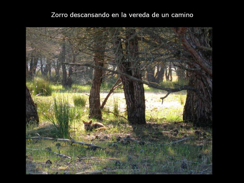 Zorro descansando en la vereda de un camino