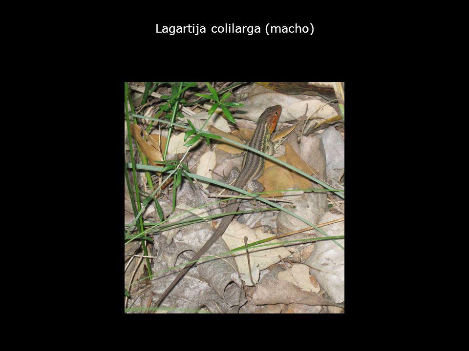 Lagartija colilarga (macho)