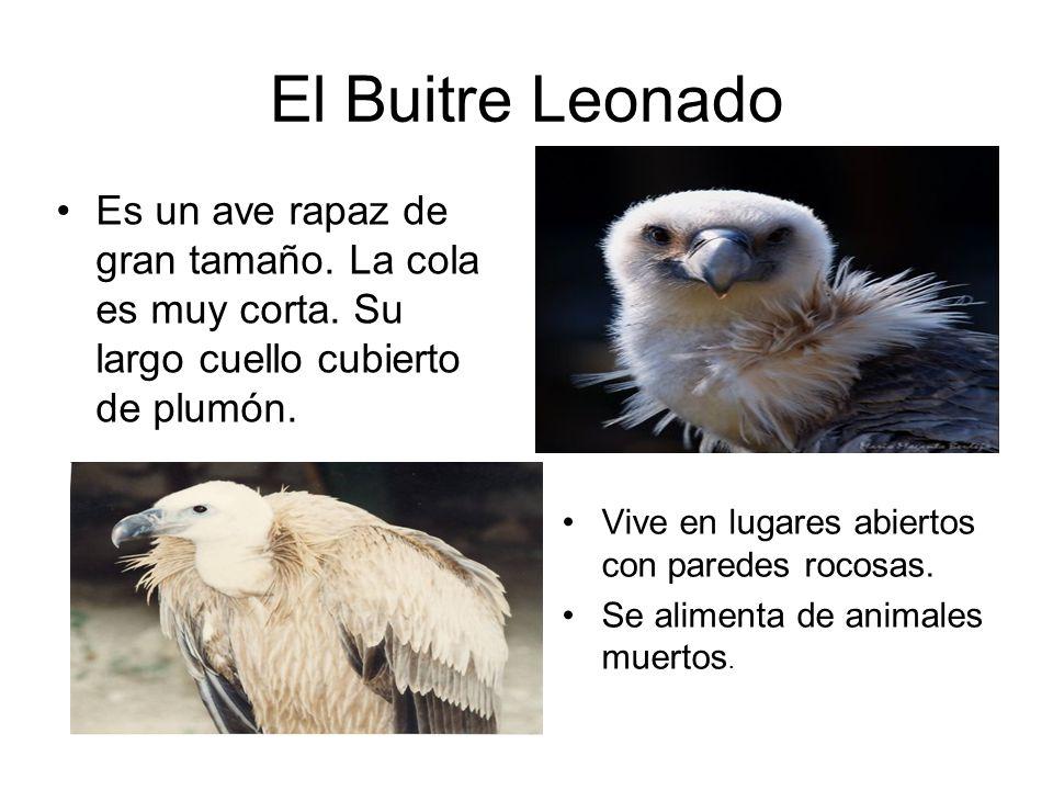 El Buitre Leonado Es un ave rapaz de gran tamaño. La cola es muy corta. Su largo cuello cubierto de plumón.