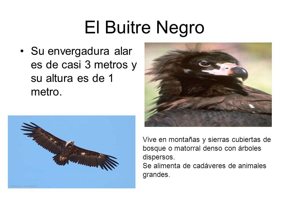 El Buitre Negro Su envergadura alar es de casi 3 metros y su altura es de 1 metro.
