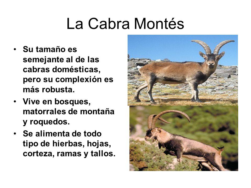 La Cabra Montés Su tamaño es semejante al de las cabras domésticas, pero su complexión es más robusta.