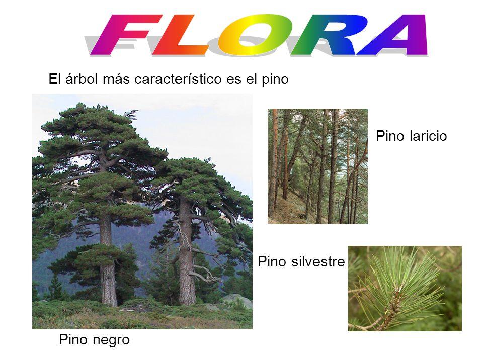 FLORA El árbol más característico es el pino Pino laricio