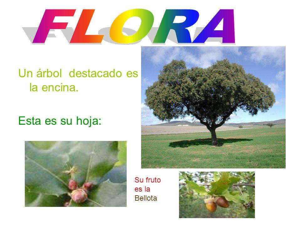 FLORA Un árbol destacado es la encina. Esta es su hoja: