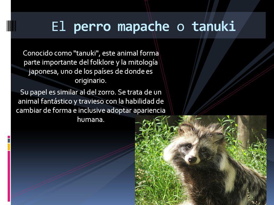 El perro mapache o tanuki