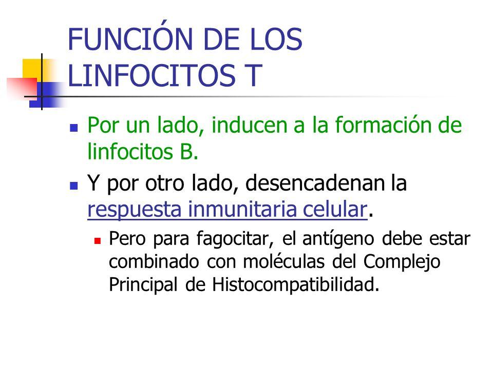 FUNCIÓN DE LOS LINFOCITOS T