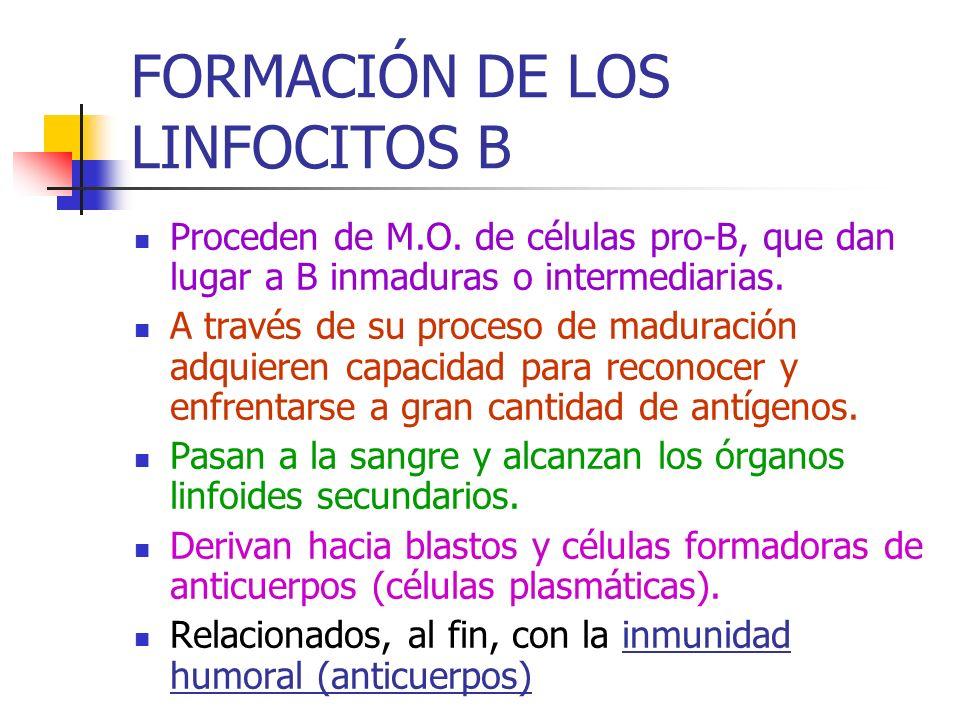 FORMACIÓN DE LOS LINFOCITOS B