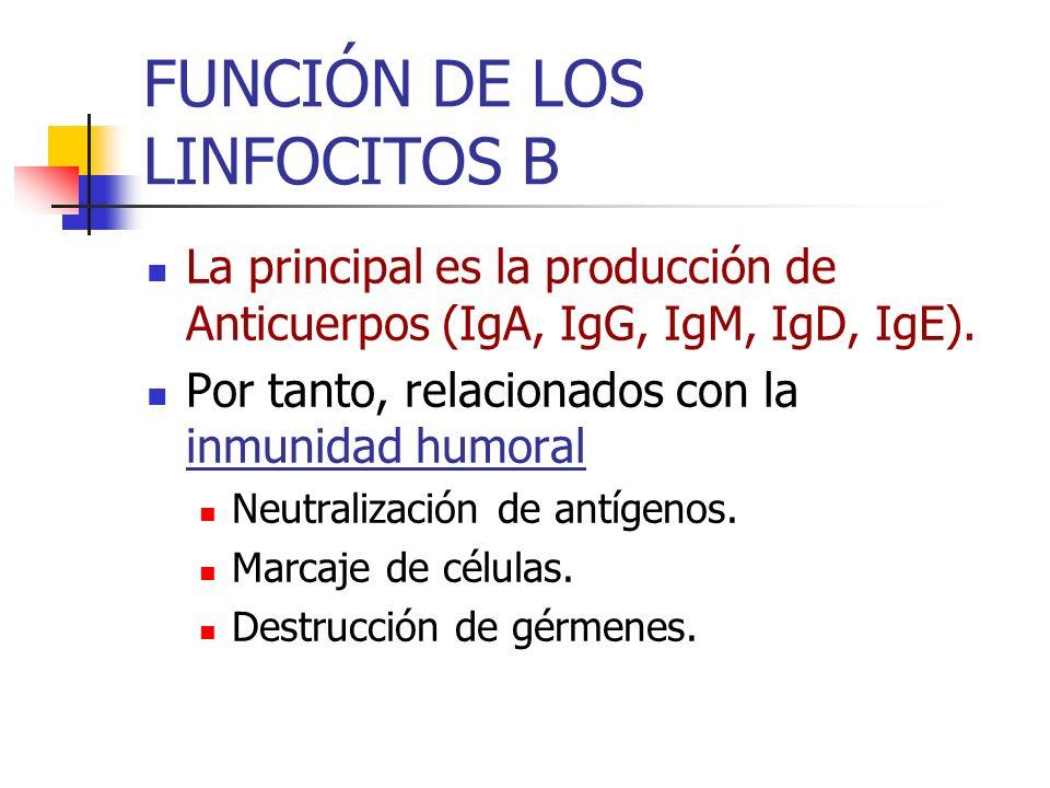 FUNCIÓN DE LOS LINFOCITOS B