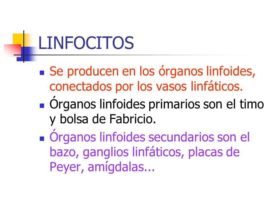 LINFOCITOS Se producen en los órganos linfoides, conectados por los vasos linfáticos. Órganos linfoides primarios son el timo y bolsa de Fabricio.