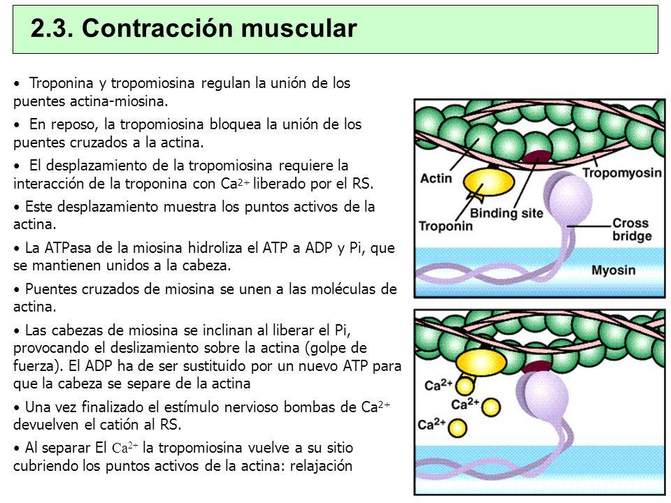 2.3. Contracción muscularTroponina y tropomiosina regulan la unión de los puentes actina-miosina.