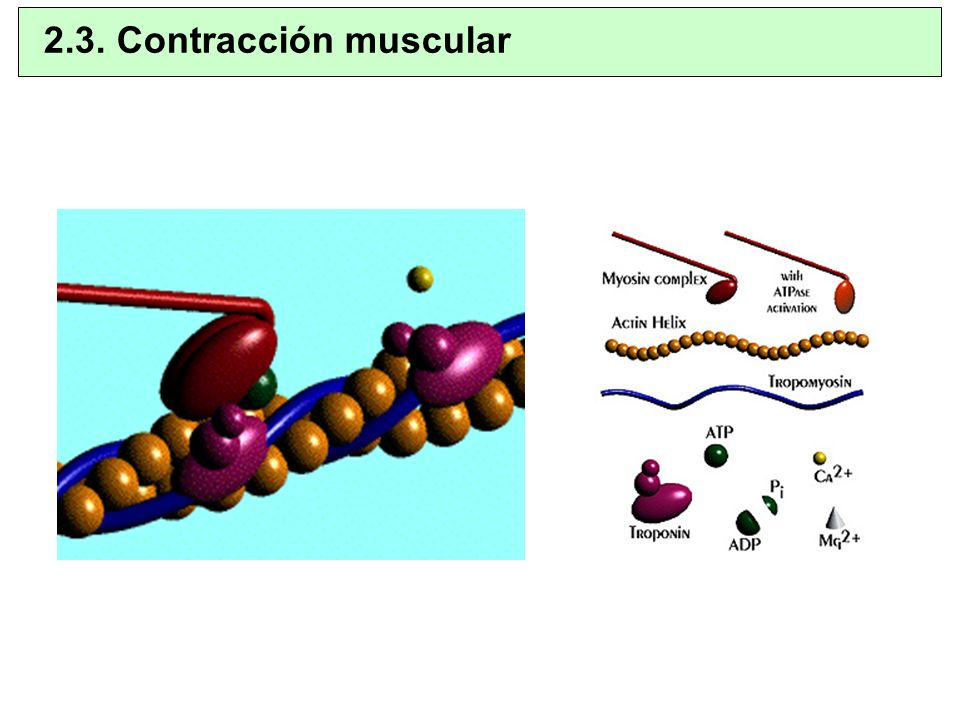 2.3. Contracción muscular