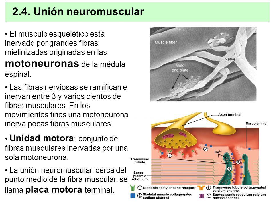 2.4. Unión neuromuscular El músculo esquelético está inervado por grandes fibras mielinizadas originadas en las motoneuronas de la médula espinal.