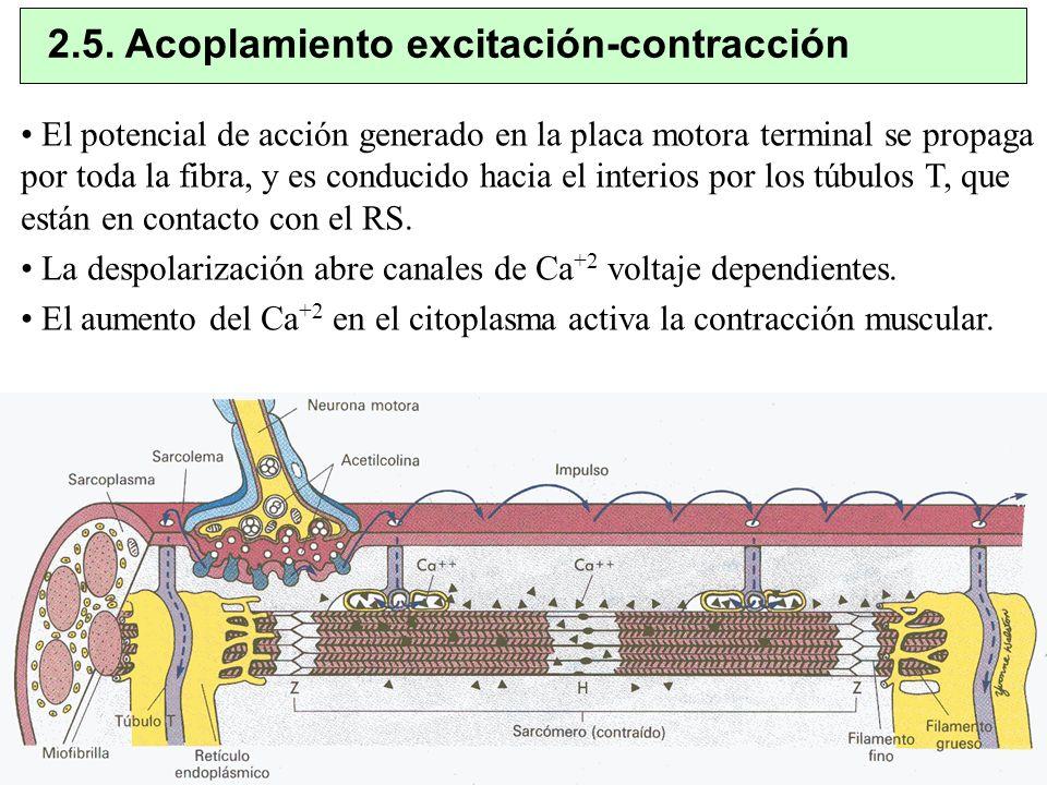 2.5. Acoplamiento excitación-contracción