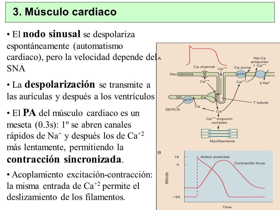 3. Músculo cardiacoEl nodo sinusal se despolariza espontáneamente (automatismo cardiaco), pero la velocidad depende del SNA.