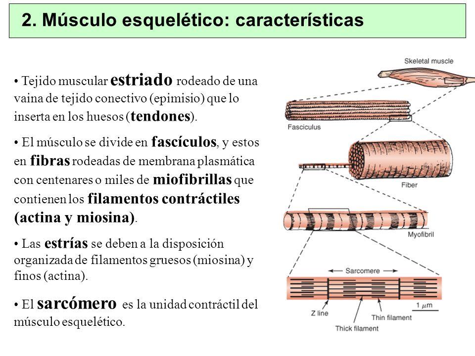 2. Músculo esquelético: características
