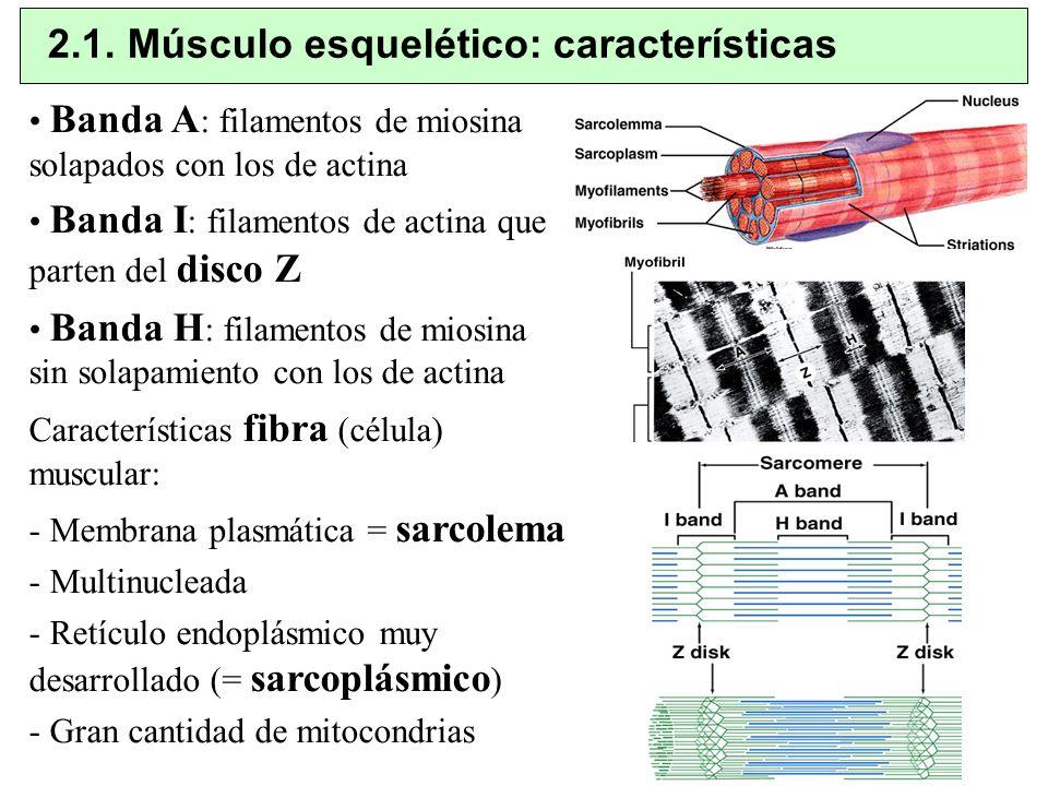 2.1. Músculo esquelético: características