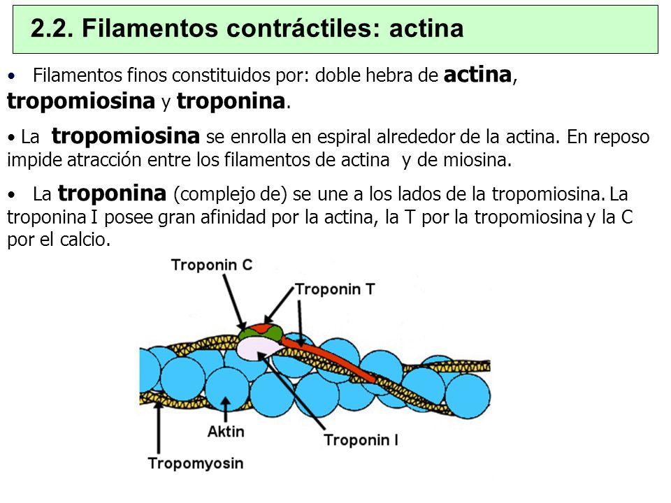2.2. Filamentos contráctiles: actina