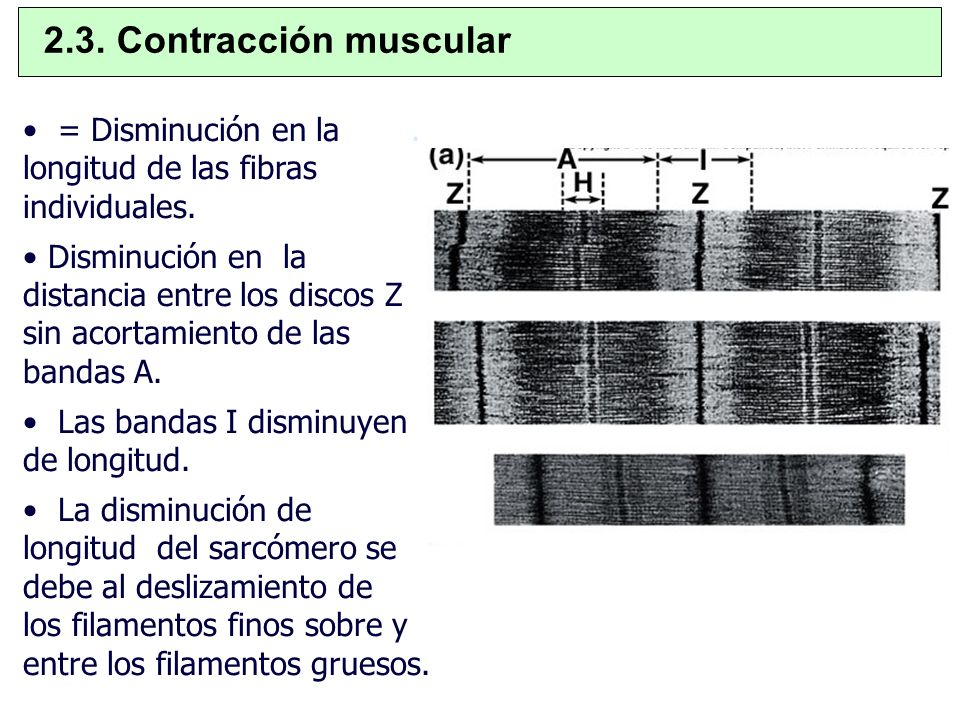 2.3. Contracción muscular = Disminución en la . longitud de las fibras individuales.