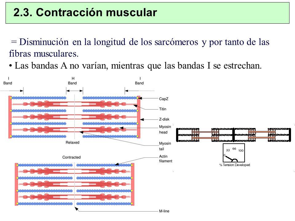 2.3. Contracción muscular = Disminución en la longitud de los sarcómeros y por tanto de las fibras musculares.