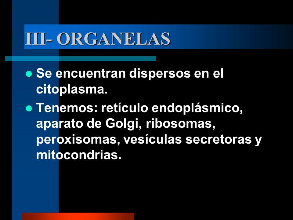 III- ORGANELAS Se encuentran dispersos en el citoplasma.