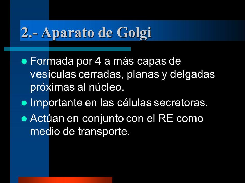 2.- Aparato de Golgi Formada por 4 a más capas de vesículas cerradas, planas y delgadas próximas al núcleo.