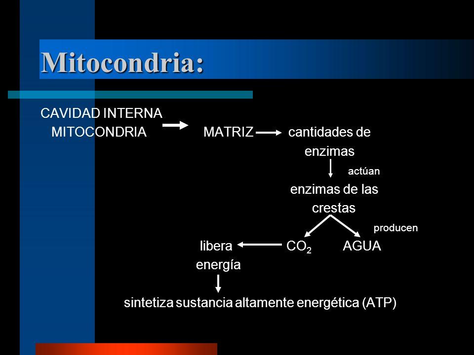 Mitocondria: CAVIDAD INTERNA MITOCONDRIA MATRIZ cantidades de enzimas