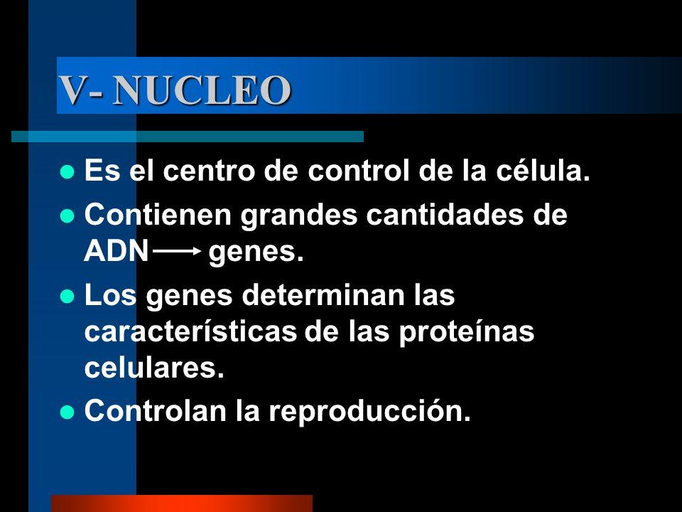 V- NUCLEO Es el centro de control de la célula.