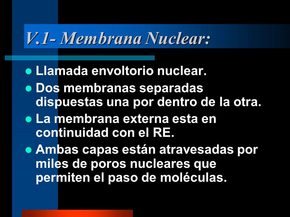 V.1- Membrana Nuclear: Llamada envoltorio nuclear.