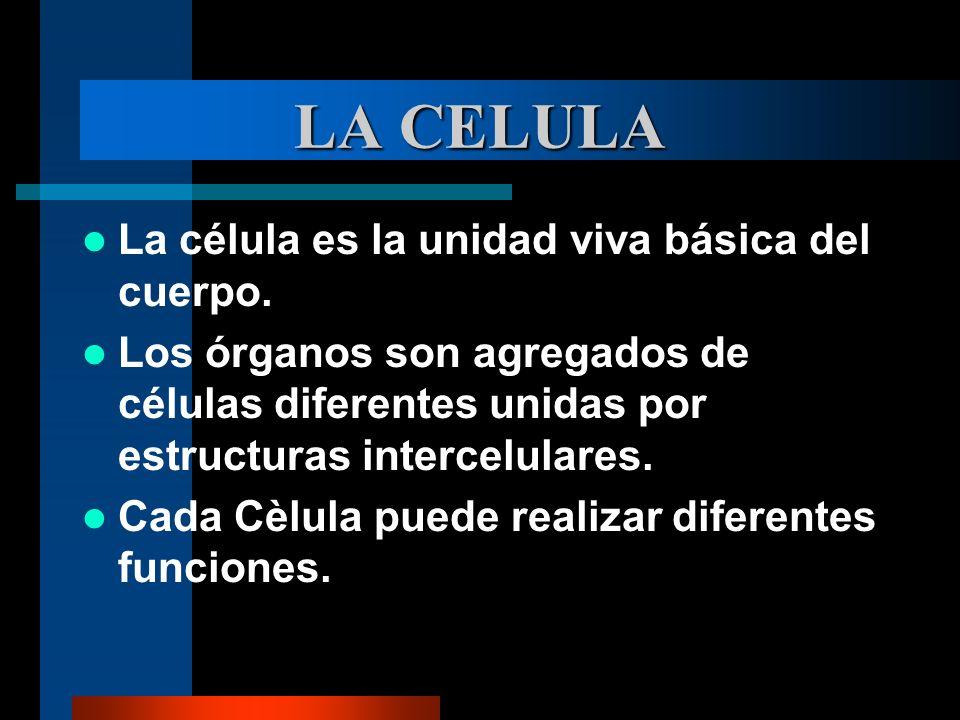 LA CELULA La célula es la unidad viva básica del cuerpo.