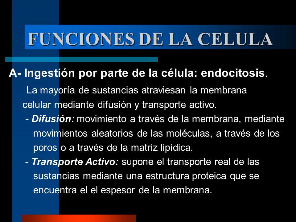 FUNCIONES DE LA CELULA A- Ingestión por parte de la célula: endocitosis. La mayoría de sustancias atraviesan la membrana.