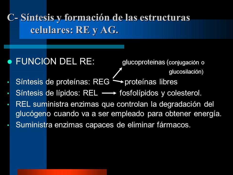 C- Síntesis y formación de las estructuras celulares: RE y AG.