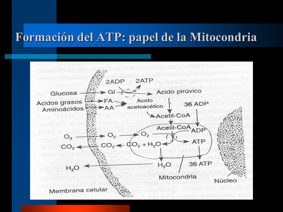 Formación del ATP: papel de la Mitocondria