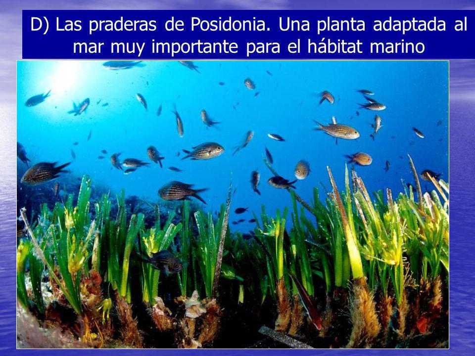 D) Las praderas de Posidonia