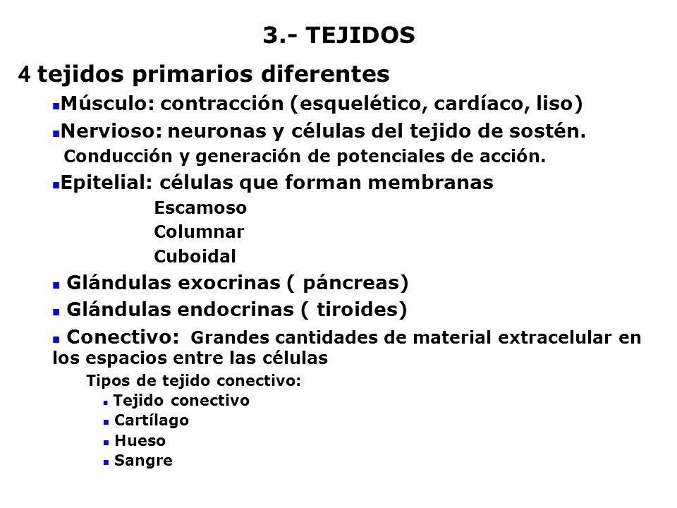 4 tejidos primarios diferentes
