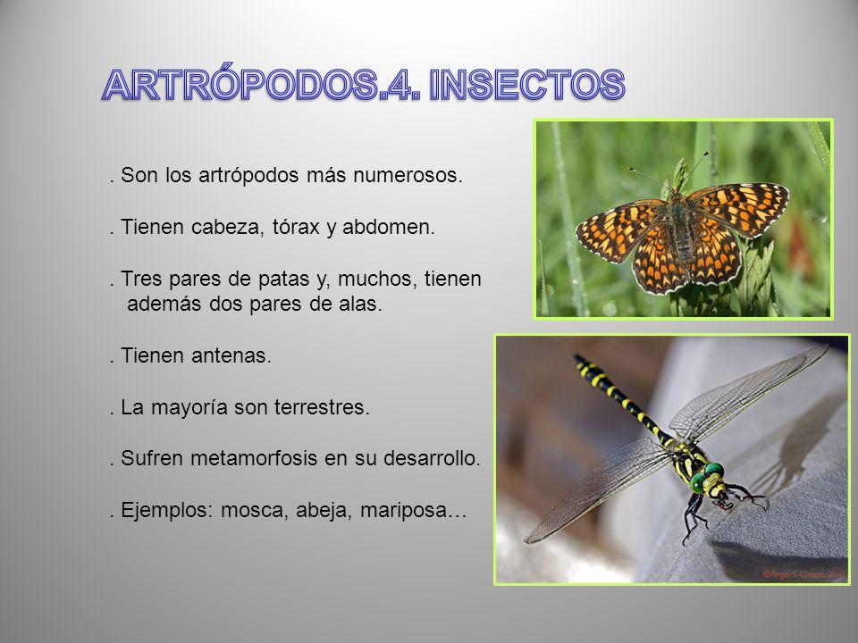 ARTRÓPODOS.4. INSECTOS . Son los artrópodos más numerosos.