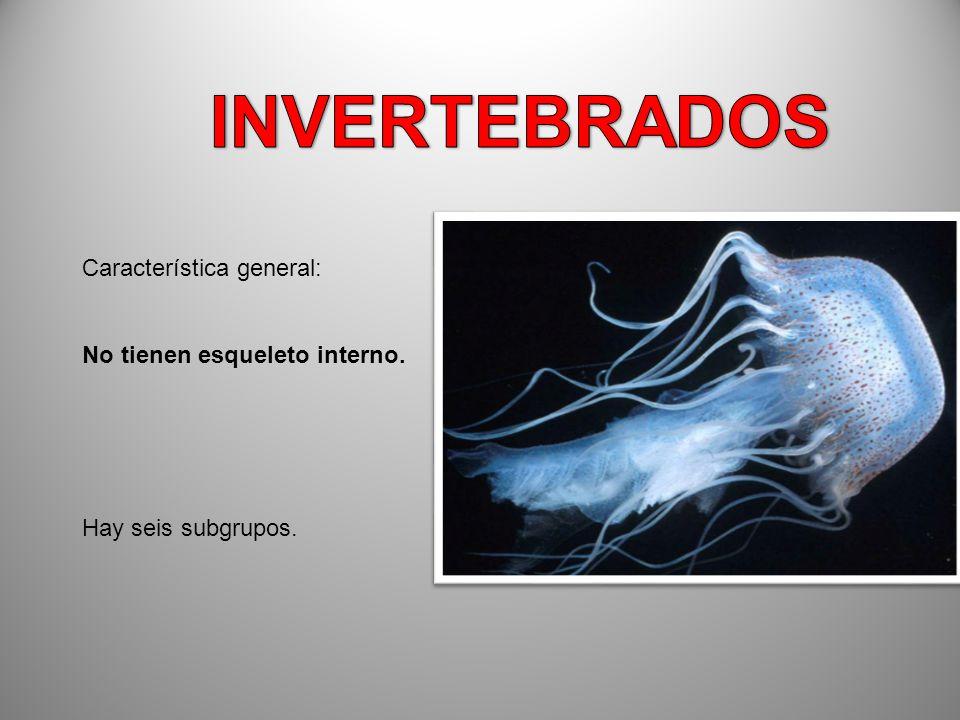 INVERTEBRADOS Característica general: No tienen esqueleto interno.
