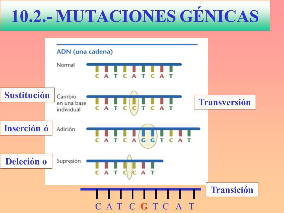 10.2.- MUTACIONES GÉNICAS Sustitución Transversión Inserción ó