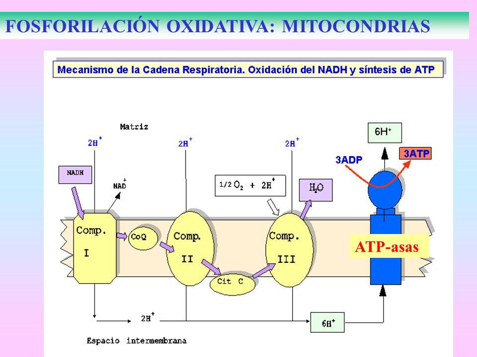 FOSFORILACIÓN OXIDATIVA: MITOCONDRIAS