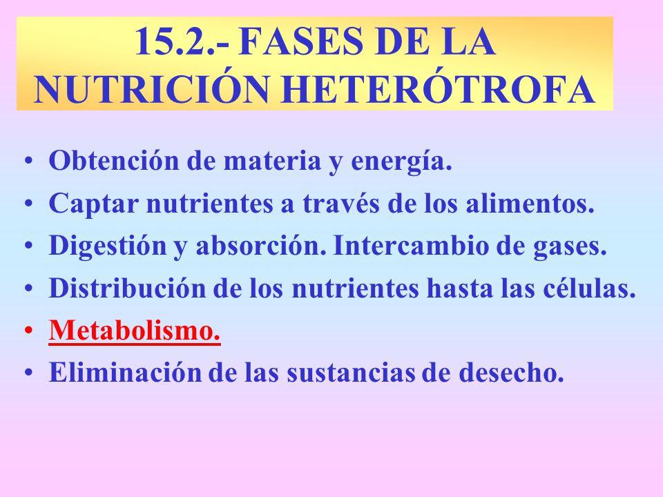 15.2.- FASES DE LA NUTRICIÓN HETERÓTROFA