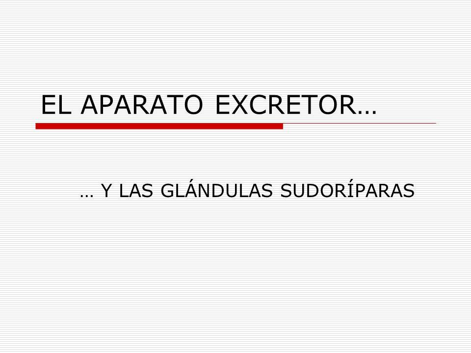 … Y LAS GLÁNDULAS SUDORÍPARAS