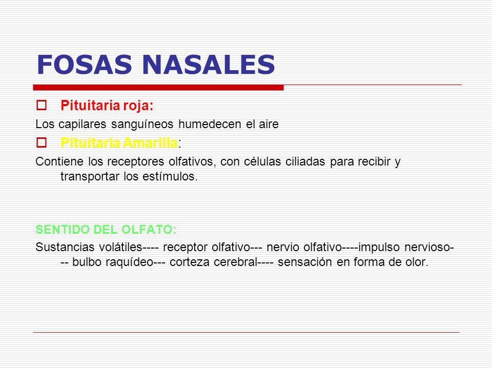 FOSAS NASALES Pituitaria roja: Pituitaria Amarilla: