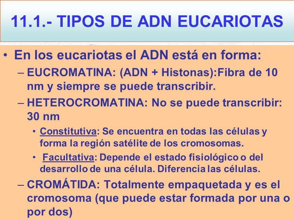11.1.- TIPOS DE ADN EUCARIOTAS