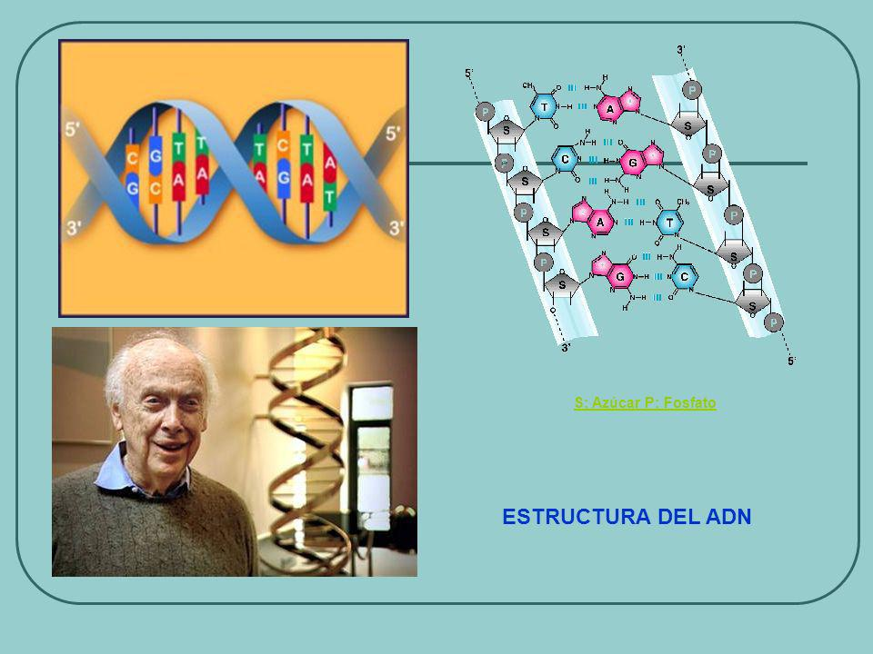 S: Azúcar P: Fosfato ESTRUCTURA DEL ADN