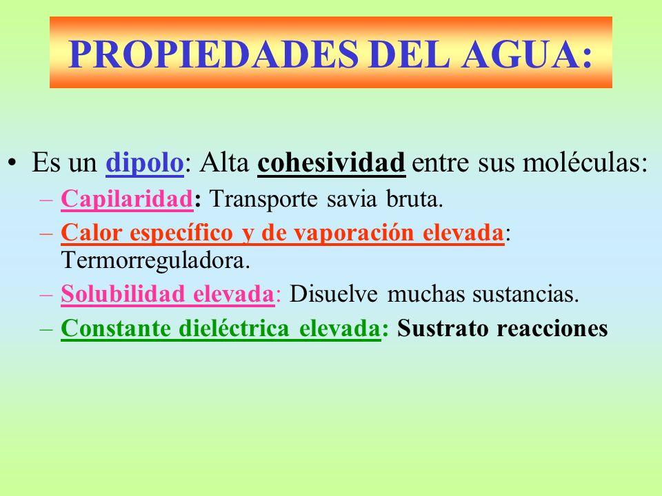 PROPIEDADES DEL AGUA: Es un dipolo: Alta cohesividad entre sus moléculas: Capilaridad: Transporte savia bruta.