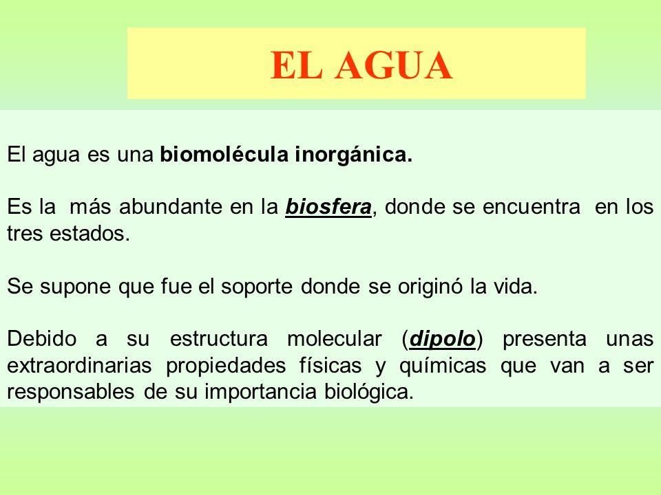 EL AGUA El agua es una biomolécula inorgánica.