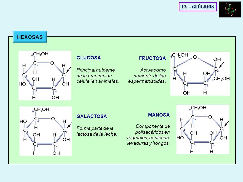 HEXOSAS T3 – GLÚCIDOS GLUCOSA FRUCTOSA