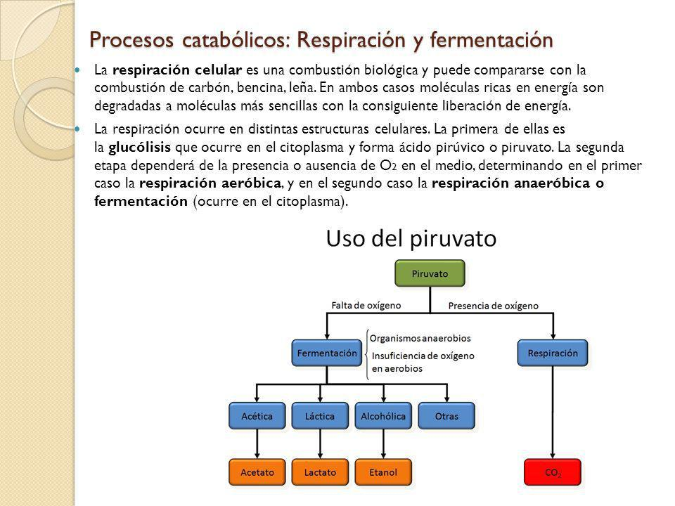Procesos catabólicos: Respiración y fermentación