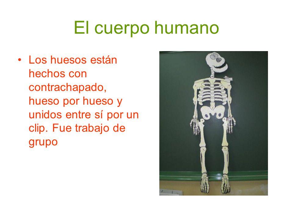 El cuerpo humano Los huesos están hechos con contrachapado, hueso por hueso y unidos entre sí por un clip.