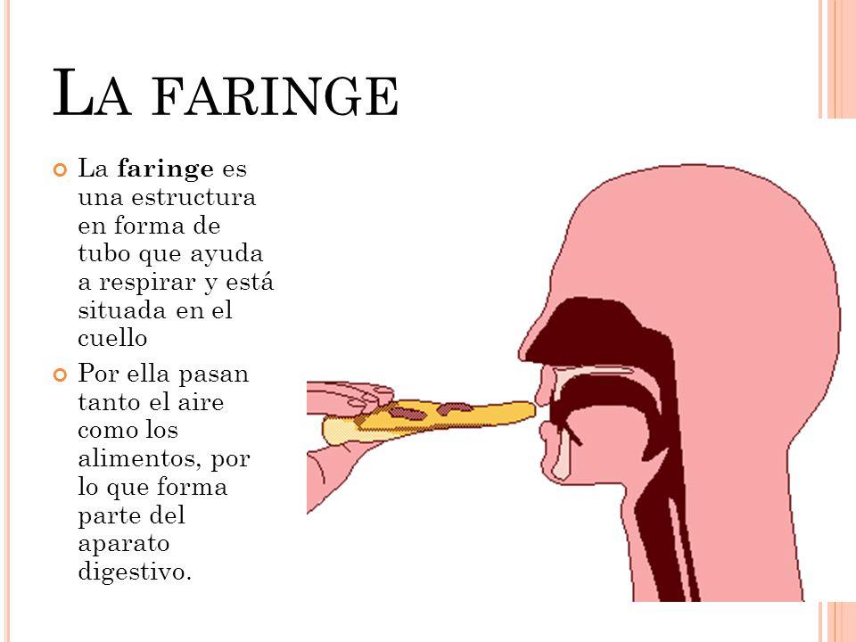La faringe La faringe es una estructura en forma de tubo que ayuda a respirar y está situada en el cuello.