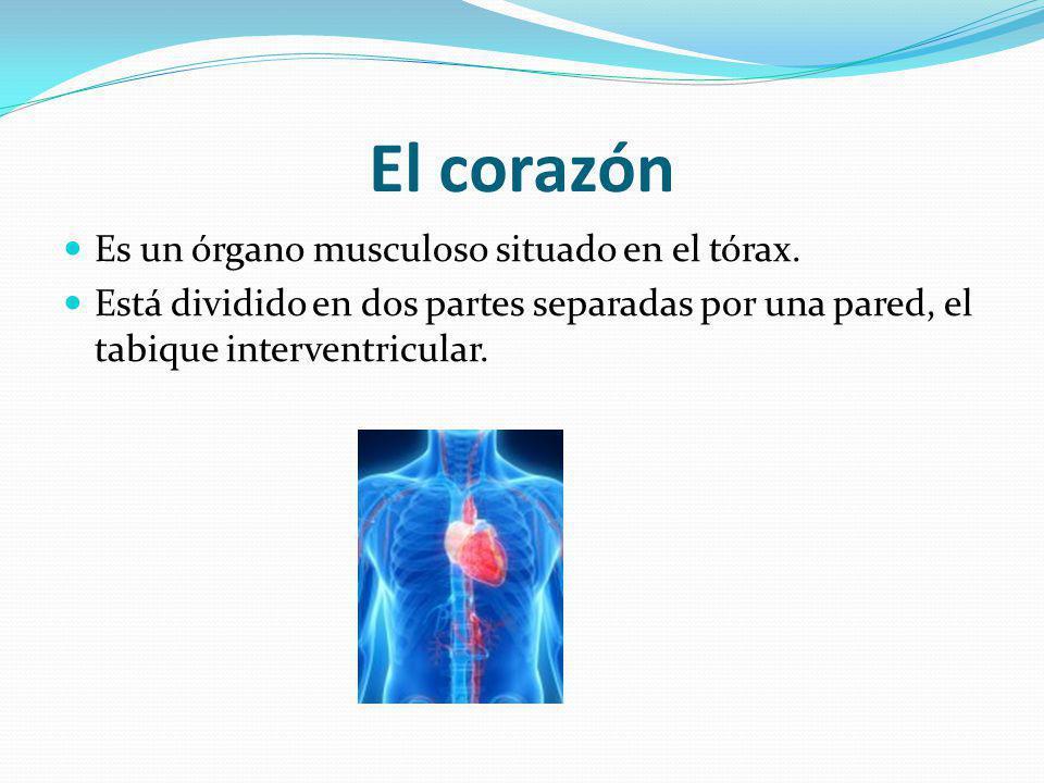 El corazón Es un órgano musculoso situado en el tórax.